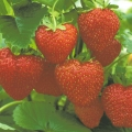 Strawberry 'Alice'* - Pack of 12 (Mid Summer)